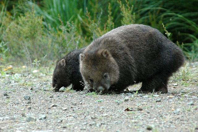 wombat.jpg